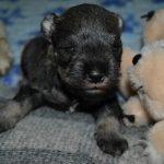cuccioli Schnauzer nano