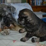 Schnauzer nano cuccioli