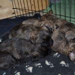 cuccioli Cairn Terrier
